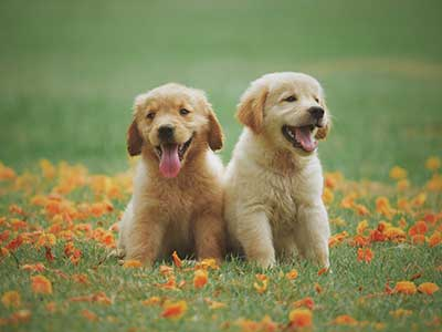 Two Yellow Labrador Retriever Puppies in Field